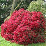 Nega rododendron