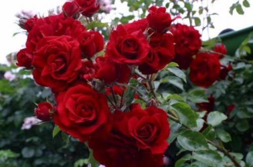 Skrb za vrtnice