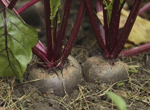 Pesa, korenine, Beta vulgaris