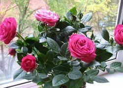 Роза: проблемы домашнего выращивания и их решения