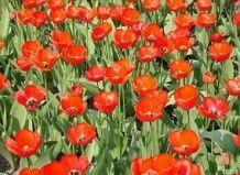 V Krim, razcvetela se največji polja tulipanov.