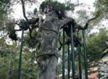 V Maleziji, je našel drevo, katerega starost je več kot tisoč let