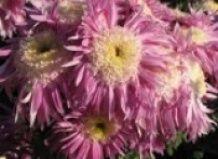 V Nikitsky botanični vrt izbran cvet kraljice