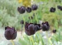 V vznožju Karpatov začel cvetenja črnih tulipanov