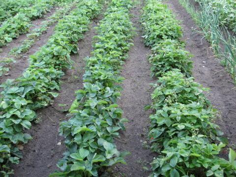 Gojenje jagode iz semena