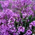 Noctule matrons ali divje orhideje