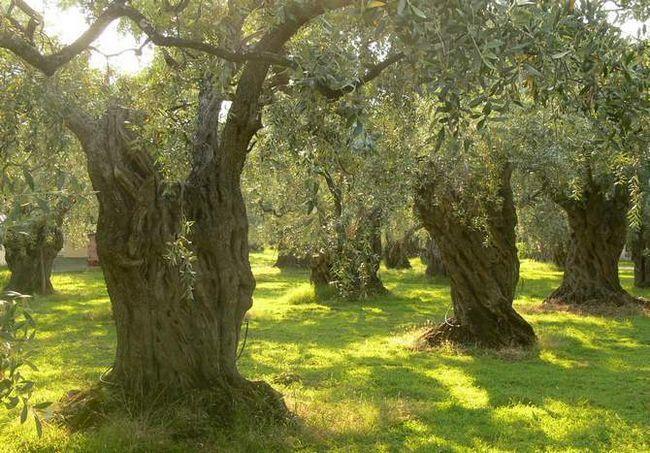 Zimzeleno drevo oljčno