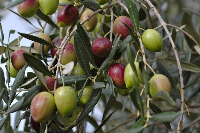 Oljčno drevo. Foto rastline, sadje, cvetje in listi oljk ali oljk