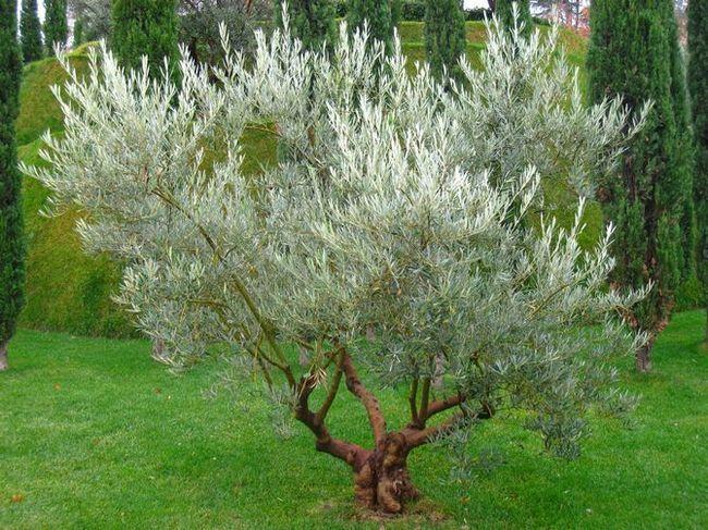 Kako rastejo oljčno drevo na vrtu