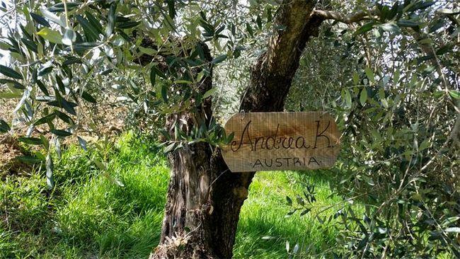 Povprečno trajanje rasti oljk - približno petsto let