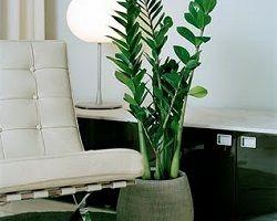 Вечнозеленый замиокулькас: уход и секреты выращивания