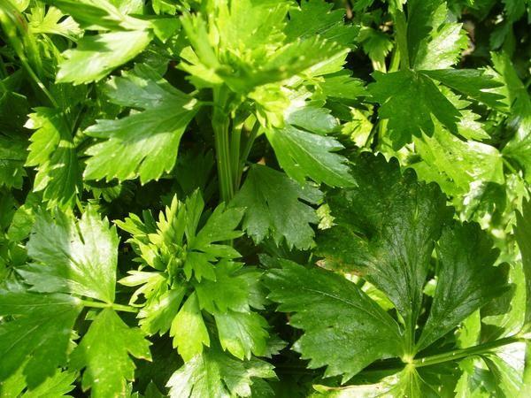 Kronanje, uporabno in dekorativno zelena