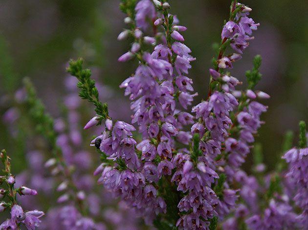 Соцветие вереска во время цветения