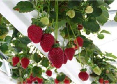 vertikalni rastejo jagode