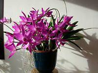 orhideja Lelia