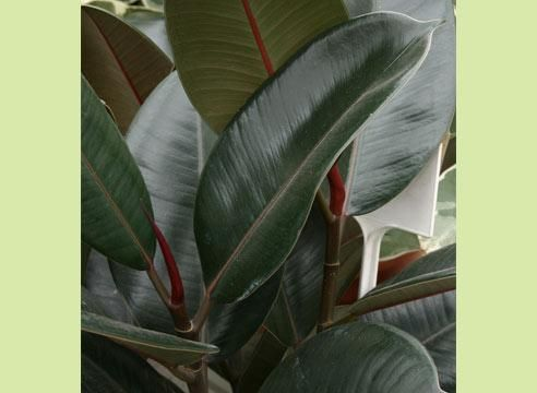Фикус эластика Абиджан, Ficus elastica Abidjan