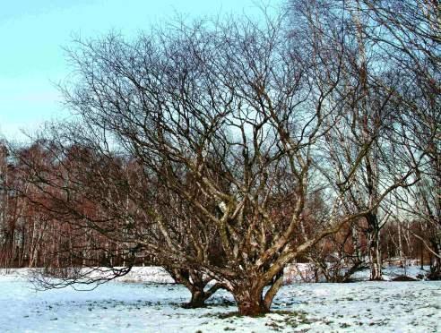 Karelščina Birch (navadna breza f. Carelica)