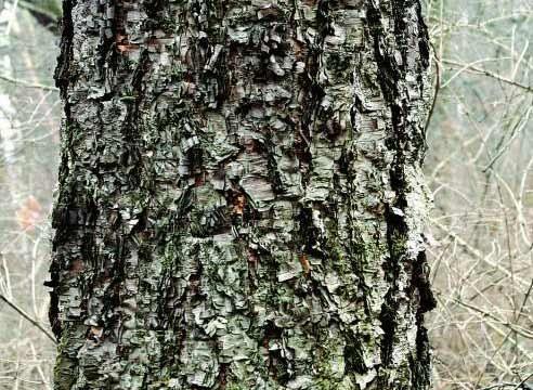 Dahurian breze (Betula daurica)