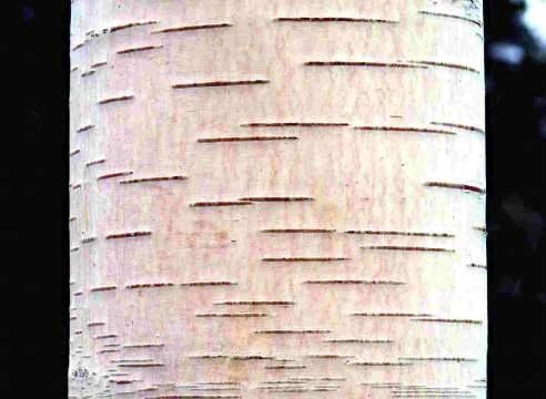 Japonski breze (Betula japonica)