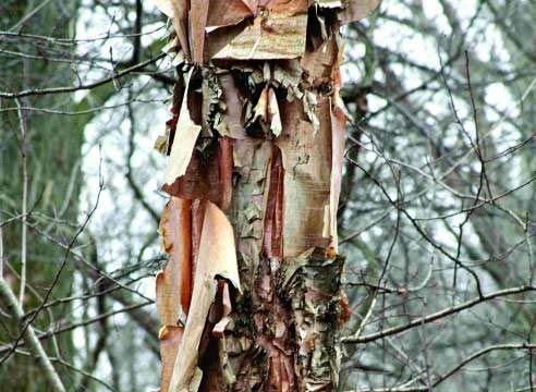 Betula nigra (Betula nigra)