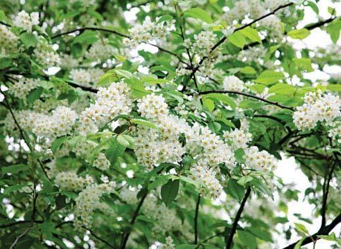 Bird češnja, cvetenje, Padus racemosa