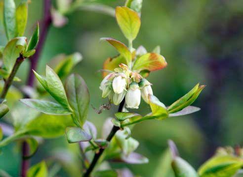 Ameriški borovnice, Vaccinium corymbosum