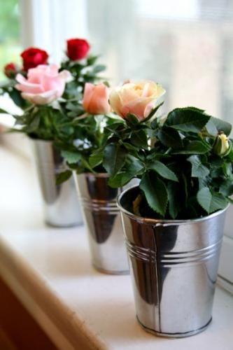 Виды комнатных роз на фото в вашем доме