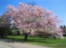 Cherry dekorativni zgodaj