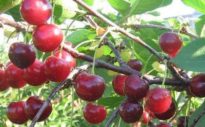 Посадка вишни сорта Ровесница