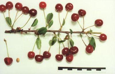 Полив вишни сорта Ровесница
