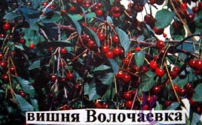 Зимостойкая вишня Волочаевка: описание сорта и фото