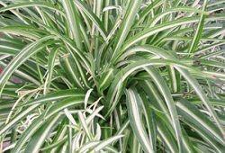 crested Chlorophytum