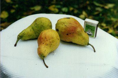 Груша Купава: описание, характеристики сорта и фото плодов