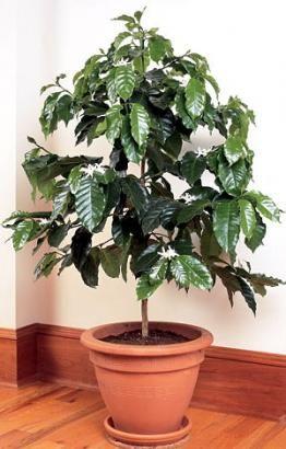 Vpliv sobne rastline na osebo