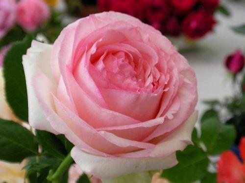 Волшебство садовой розы на фото и картинках