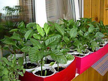 kada saditi paprike sadnica
