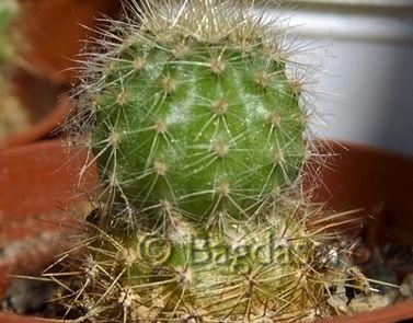 klíště na kaktusu