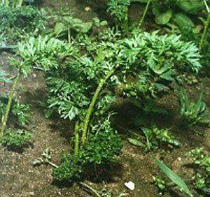 Zvit okuženi listi