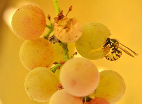 Оса на грозде