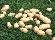 Samo nekaj iz gomolja krompirja!