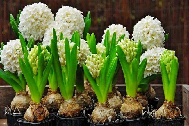Kako se širi in rastlinske hijacinte