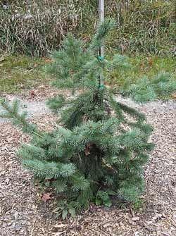Выращиваем хорошую елку в саду
