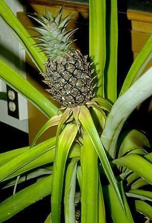 Выращиваем комнатный ананас