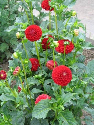 Выращиваем однолетние георгины