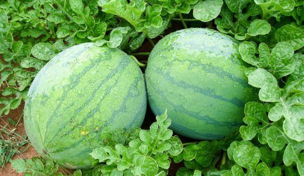 Lubenica (lubenica)