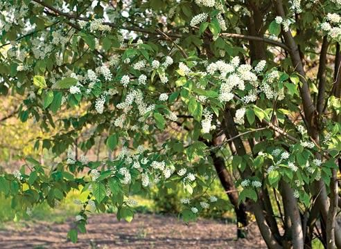 Bird češnja, Padus racemosa
