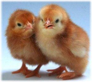 Отглеждане пилета-бройлери