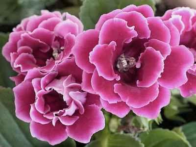Gloxinia Pridelava semen doma