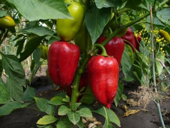 sadnja paprike