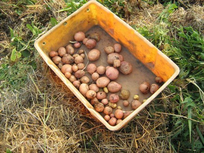 Pridelovanje krompirja pod slamo ali mulčenje